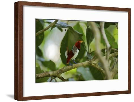 A Male King Bird of Paradise Performs a Dancing Displa-Tim Laman-Framed Art Print
