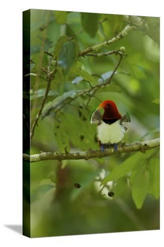 A Male King Bird of Paradise with His Pectoral Fans Extended-Tim Laman-Stretched Canvas Print
