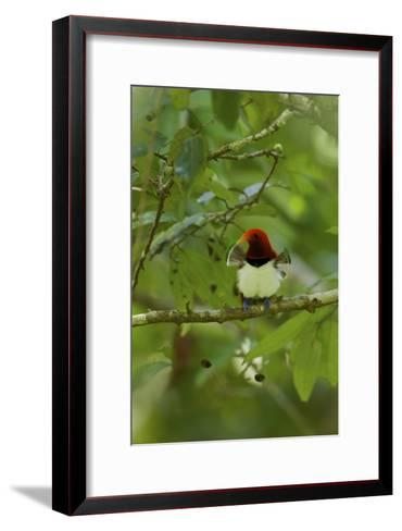 A Male King Bird of Paradise with His Pectoral Fans Extended-Tim Laman-Framed Art Print