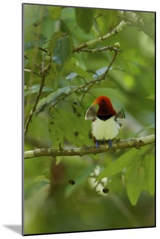 A Male King Bird of Paradise with His Pectoral Fans Extended-Tim Laman-Mounted Photographic Print