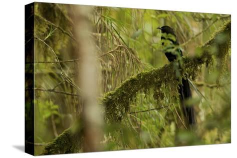 A Male Arfak Astrapia Bird of Paradise Perches On a Mossy Branch-Tim Laman-Stretched Canvas Print