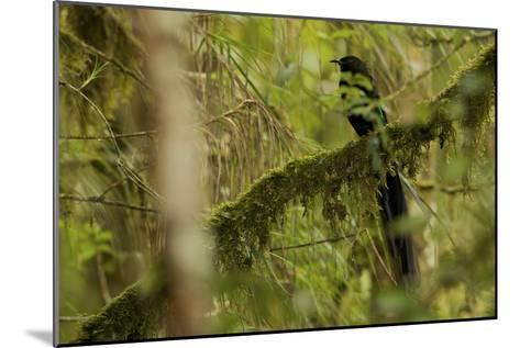A Male Arfak Astrapia Bird of Paradise Perches On a Mossy Branch-Tim Laman-Mounted Photographic Print