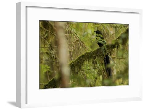 A Male Arfak Astrapia Bird of Paradise Perches On a Mossy Branch-Tim Laman-Framed Art Print