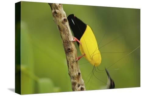 A Male Twelve Wired Bird of Paradise Brushes the Female with Feathers-Tim Laman-Stretched Canvas Print