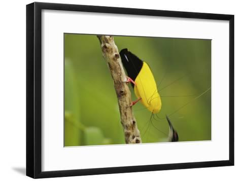 A Male Twelve Wired Bird of Paradise Brushes the Female with Feathers-Tim Laman-Framed Art Print