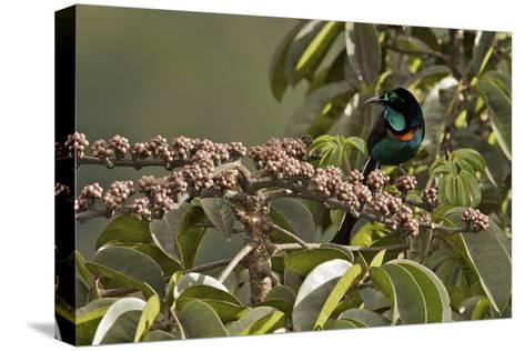 A Male Splendid Astrapia Feeds At Fruiting Schefflera Tree-Tim Laman-Stretched Canvas Print
