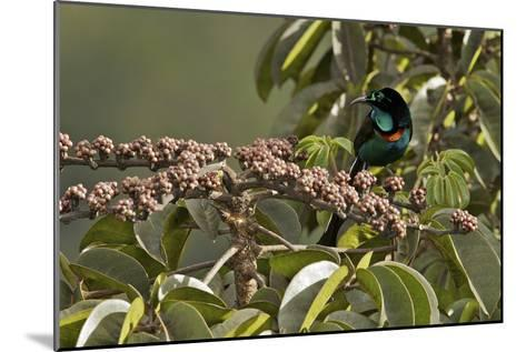 A Male Splendid Astrapia Feeds At Fruiting Schefflera Tree-Tim Laman-Mounted Photographic Print