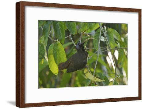 a Male Pale Billed Sicklebill Perches On a Tree Branch-Tim Laman-Framed Art Print