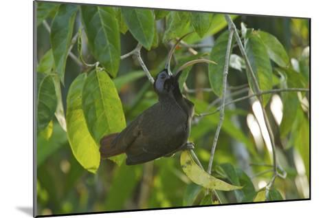 a Male Pale Billed Sicklebill Perches On a Tree Branch-Tim Laman-Mounted Photographic Print