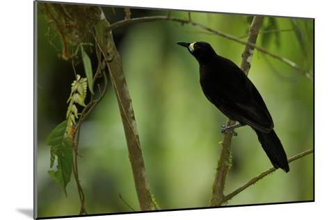 A Female Long Tailed Paradigalla At Her Nest-Tim Laman-Mounted Photographic Print