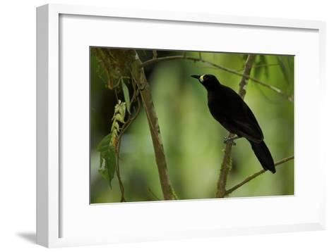 A Female Long Tailed Paradigalla At Her Nest-Tim Laman-Framed Art Print