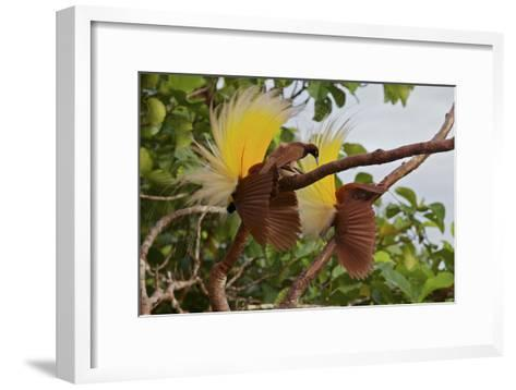 A Female Checks Out Two Adult Males Performing the Inverted Static Display-Tim Laman-Framed Art Print