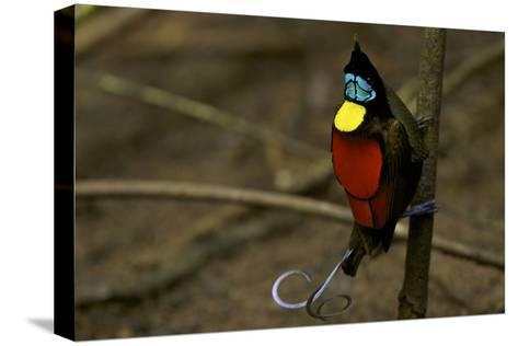 A Male Wilson's Bird of Paradise Performs a Pointing Display Posture On His Main Display Pole-Tim Laman-Stretched Canvas Print