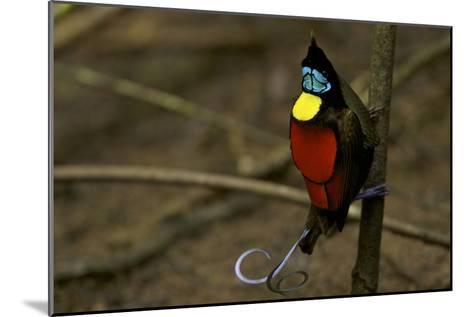 A Male Wilson's Bird of Paradise Performs a Pointing Display Posture On His Main Display Pole-Tim Laman-Mounted Photographic Print