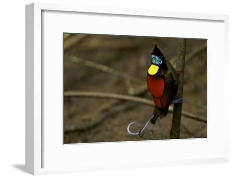 A Male Wilson's Bird of Paradise Performs a Pointing Display Posture On His Main Display Pole-Tim Laman-Framed Art Print