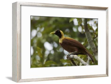 A Young Male Red Bird of Paradise Perches in Mountain Forest-Tim Laman-Framed Art Print