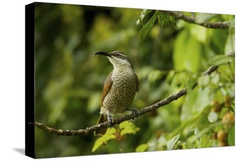 A Paradise Riflebird Perches in a Fruiting Dysoxylum Tree-Tim Laman-Stretched Canvas Print