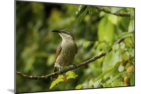 A Paradise Riflebird Perches in a Fruiting Dysoxylum Tree-Tim Laman-Mounted Photographic Print
