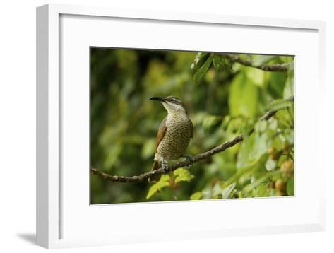 A Paradise Riflebird Perches in a Fruiting Dysoxylum Tree-Tim Laman-Framed Art Print