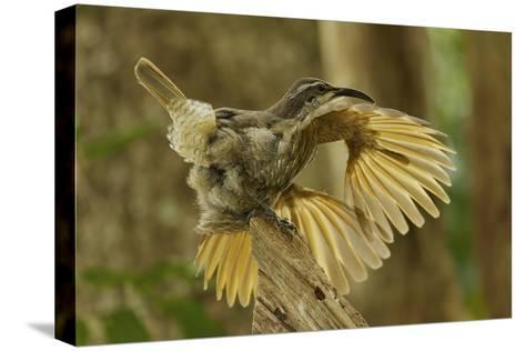 A Young Male Paradise Riflebird Performs a Practice Display-Tim Laman-Stretched Canvas Print