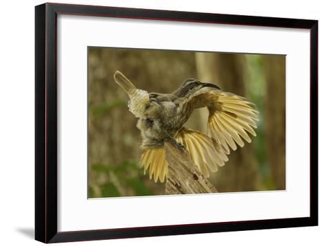 A Young Male Paradise Riflebird Performs a Practice Display-Tim Laman-Framed Art Print