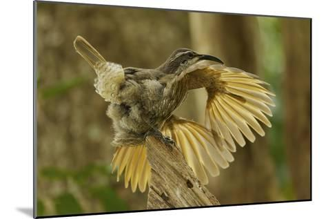 A Young Male Paradise Riflebird Performs a Practice Display-Tim Laman-Mounted Photographic Print