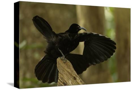 An Adult Male Paradise Riflebird Performs a Practice Display-Tim Laman-Stretched Canvas Print