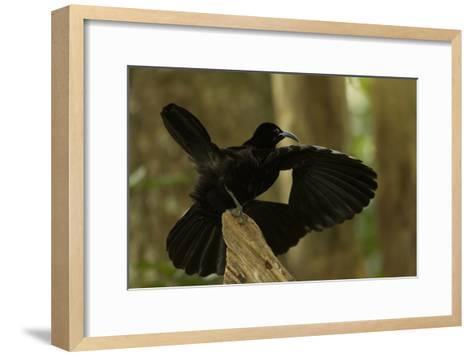 An Adult Male Paradise Riflebird Performs a Practice Display-Tim Laman-Framed Art Print