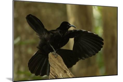 An Adult Male Paradise Riflebird Performs a Practice Display-Tim Laman-Mounted Photographic Print