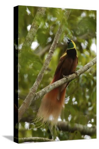 A Young Male Raggiana Bird of Paradise Calling-Tim Laman-Stretched Canvas Print