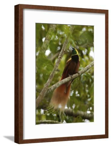 A Young Male Raggiana Bird of Paradise Calling-Tim Laman-Framed Art Print