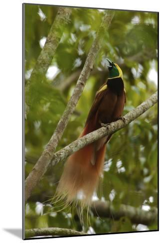 A Young Male Raggiana Bird of Paradise Calling-Tim Laman-Mounted Photographic Print