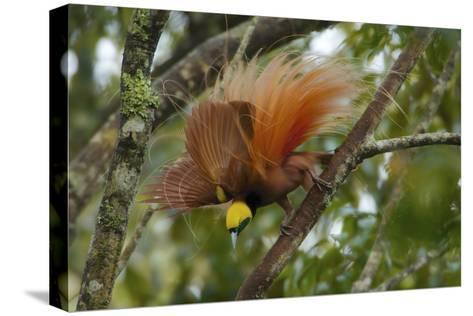 A Raggiana Bird of Paradise Performs a Display in the Kiburu Forest-Tim Laman-Stretched Canvas Print
