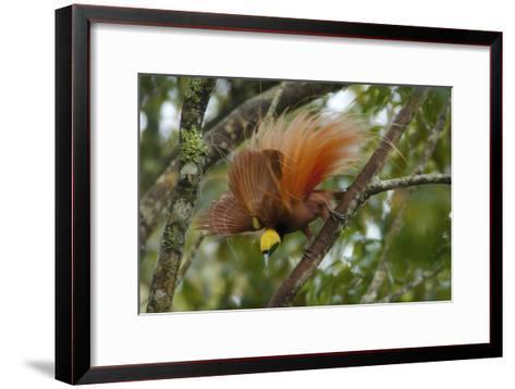 A Raggiana Bird of Paradise Performs a Display in the Kiburu Forest-Tim Laman-Framed Art Print