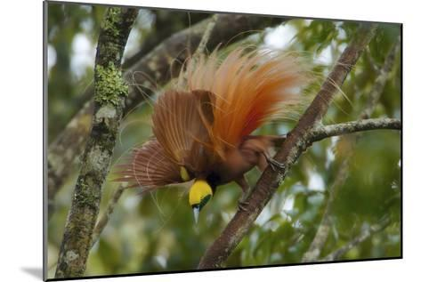 A Raggiana Bird of Paradise Performs a Display in the Kiburu Forest-Tim Laman-Mounted Photographic Print