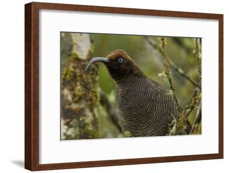 A Young Male Brown Sicklebill in Female Plumage-Tim Laman-Framed Art Print