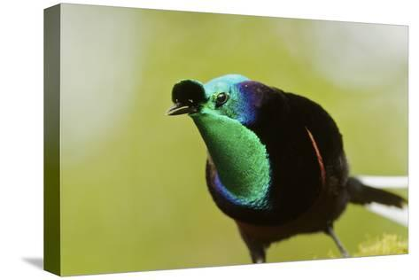 An Adult Male Ribbon Tailed Bird of Paradise-Tim Laman-Stretched Canvas Print