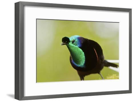 An Adult Male Ribbon Tailed Bird of Paradise-Tim Laman-Framed Art Print