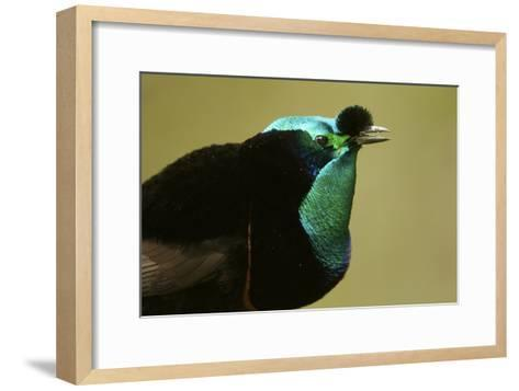 An Adult Male Ribbon Tailed Bird of Paradise-Tim Laman-Framed Art Print