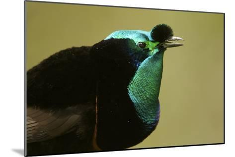 An Adult Male Ribbon Tailed Bird of Paradise-Tim Laman-Mounted Photographic Print