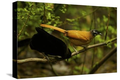 A Male and Female Wahne's Parotia On Perch Above Display Court-Tim Laman-Stretched Canvas Print