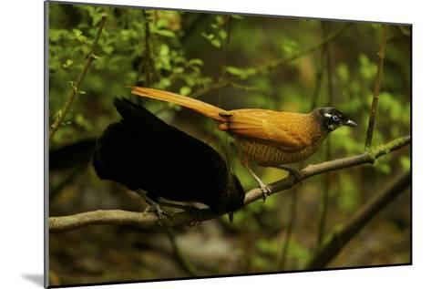 A Male and Female Wahne's Parotia On Perch Above Display Court-Tim Laman-Mounted Photographic Print