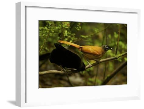 A Male and Female Wahne's Parotia On Perch Above Display Court-Tim Laman-Framed Art Print