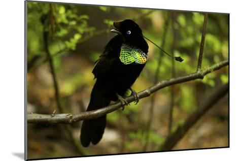 A Male Wahne's Parotia On Perch Above Display Court-Tim Laman-Mounted Photographic Print