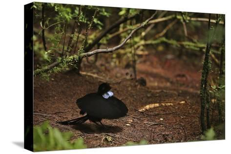 A Male Wahnes's Parotia Bird of Paradise Performs a Ballerina Display-Tim Laman-Stretched Canvas Print