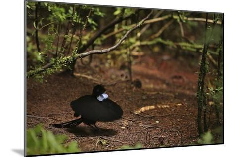 A Male Wahnes's Parotia Bird of Paradise Performs a Ballerina Display-Tim Laman-Mounted Photographic Print