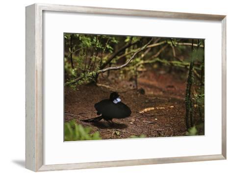 A Male Wahnes's Parotia Bird of Paradise Performs a Ballerina Display-Tim Laman-Framed Art Print