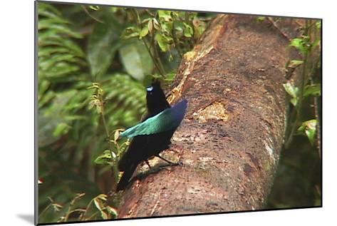An Adult Male Superb Bird of Paradise Displays On a Log-Tim Laman-Mounted Photographic Print