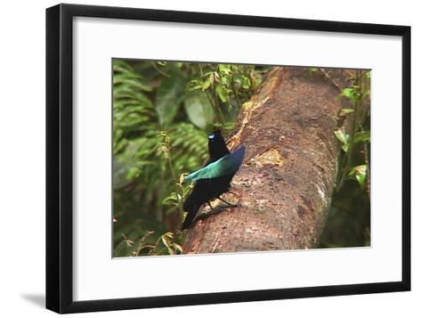 An Adult Male Superb Bird of Paradise Displays On a Log-Tim Laman-Framed Art Print