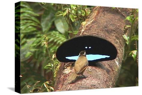 An Adult Male Superb Bird of Paradise Displays to a Female On a Log-Tim Laman-Stretched Canvas Print